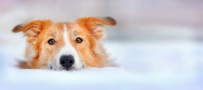 Tips for Dogs Surviving Winter